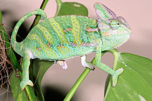 Camaleonte chamaeleo calyptratus