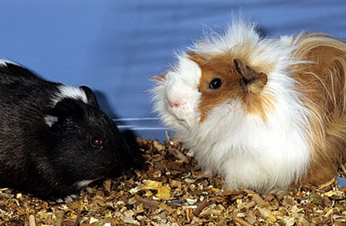 Cavia peruviana o porcellino d 39 india for Porcellino d india pelo lungo
